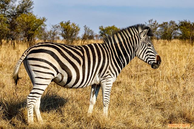 Zebra reflecting on life.....