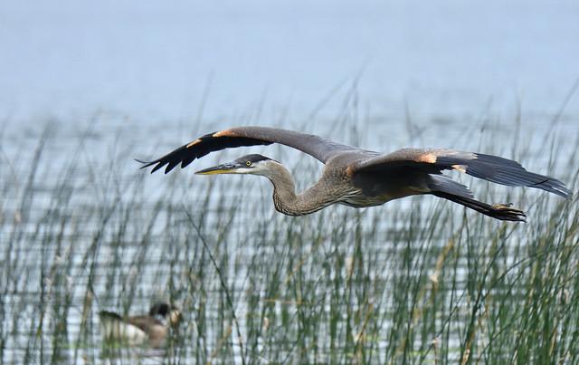 Heron Flyby