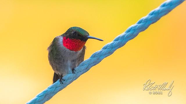 _M7_4004a Ruby-throated Hummingbird Wtrmk