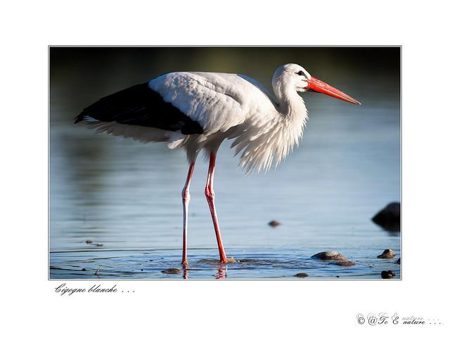 Cigogne blanche 7417- red 2