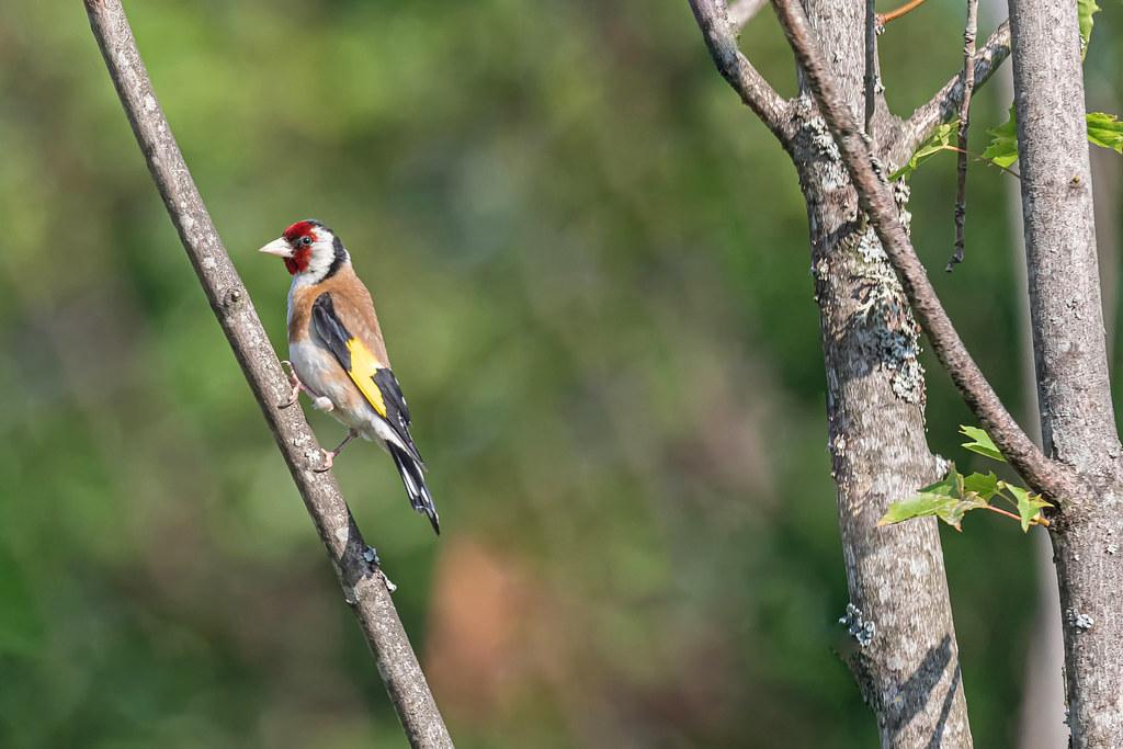 Eurasian Goldfinch (Carduelis carduelis)