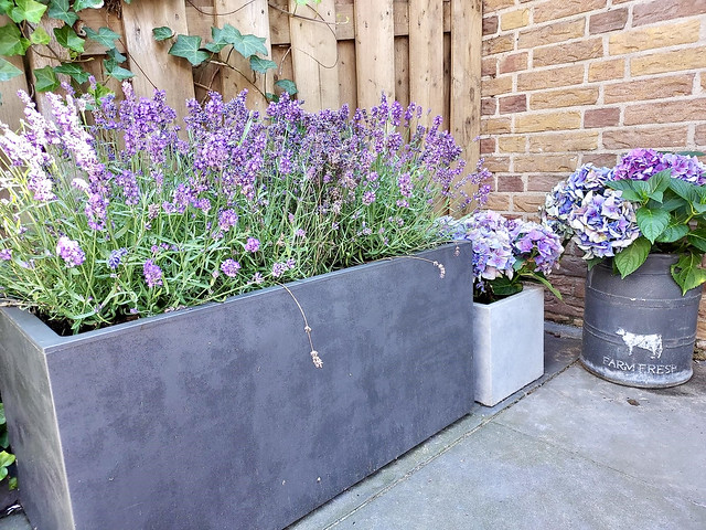 Paarse lavendel in grote bloembak terras