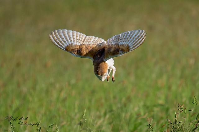 DSC7597  Barn Owl...