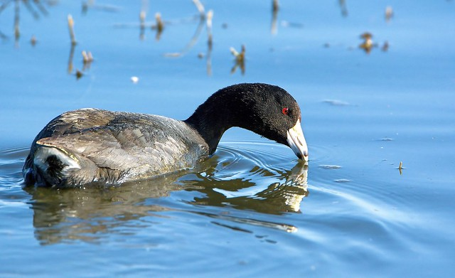 American Coot Scans The Water