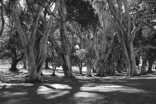 Gum Trees 3