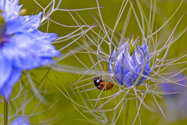 ladybird in purple
