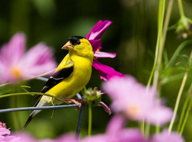 0P7A0015   American Goldfinch, Canada