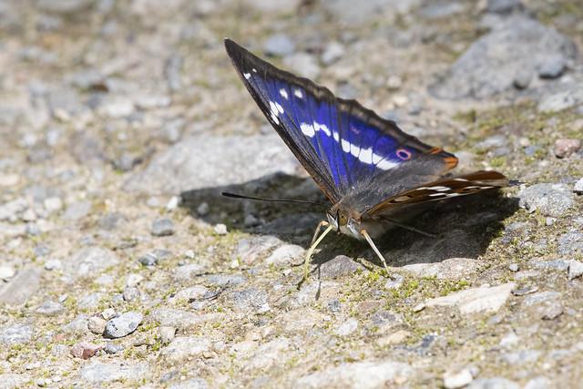 Purple Emperor 05 Lincolnshire 16-07-2021 Ian W