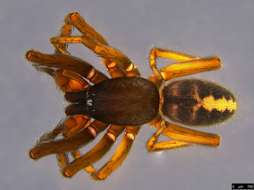 1a - Gippsicola sp.