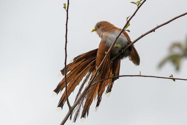 Piaya cayana (Squirrel Cuckoo / Cuco ardilla común)