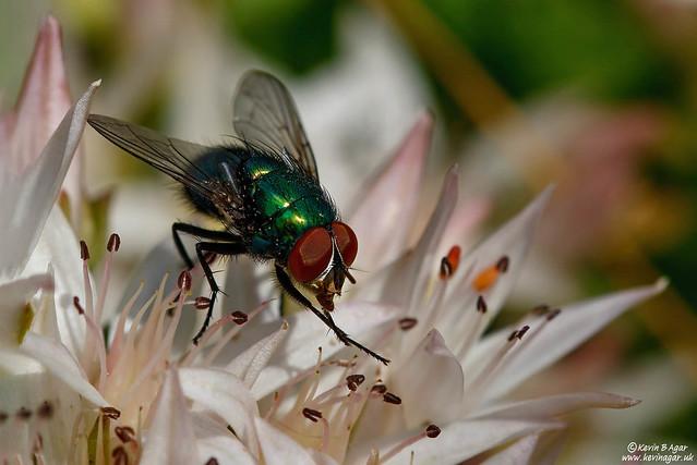 Common Green Bottle Fly, Lucilia sericata