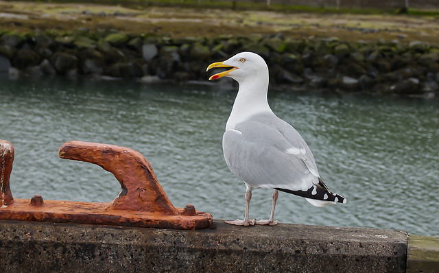 Herring Gull on harbour wall
