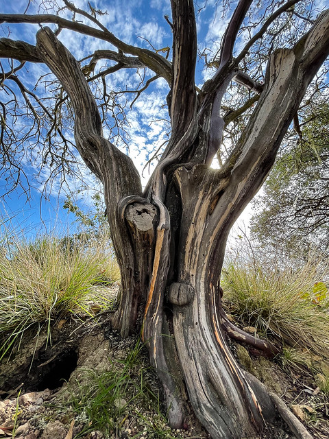 Paso Robles tree
