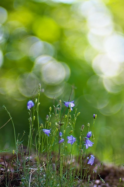 Little bells, Campanula rotundifolia