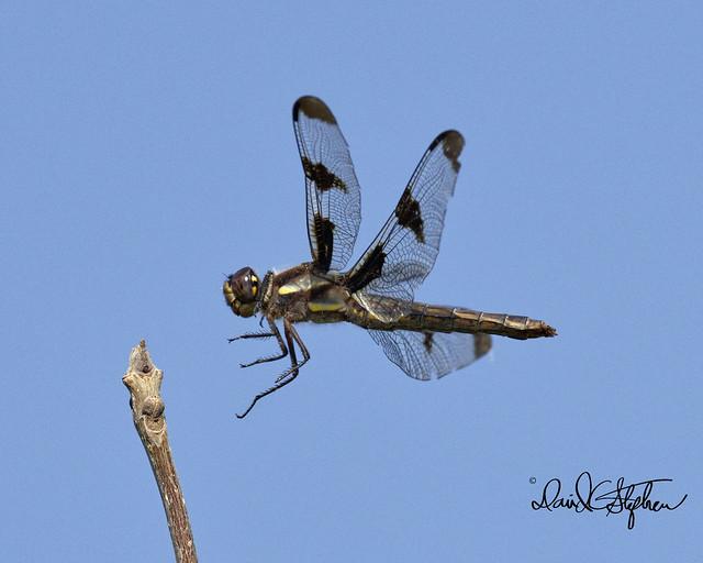 Twelve-spot Dragonfly Landing