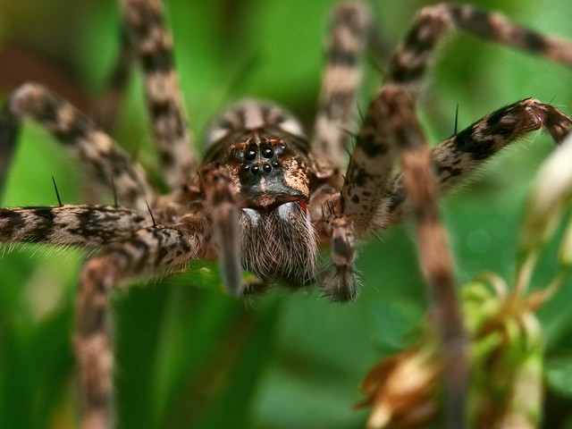 What big eye's you have Mr Wolf...spider!