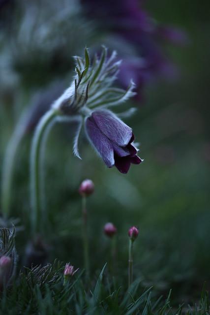 Purple pasque flower