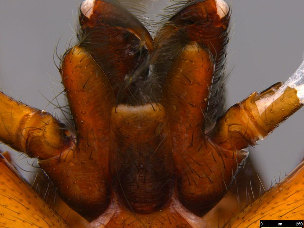 1d - Gippsicola sp.