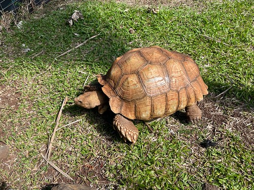 Tortoise near cave. From History Comes Alive in Poipu, Kauai