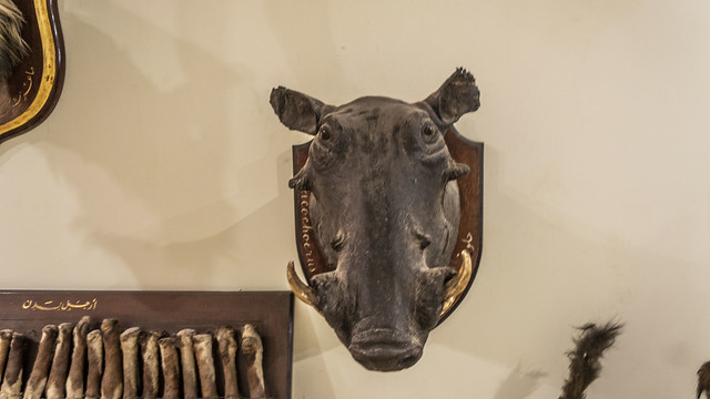 A Wild Boar Shoulder Mount Taxidermy at Prince Mohamed Ali taxidermy museum