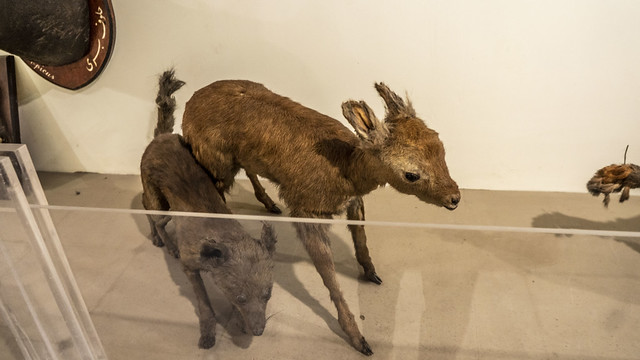 A baby gazelle taxidermy inside Prince Mohamed Ali taxidermy Museum