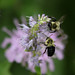 Bees on Hysop-0716