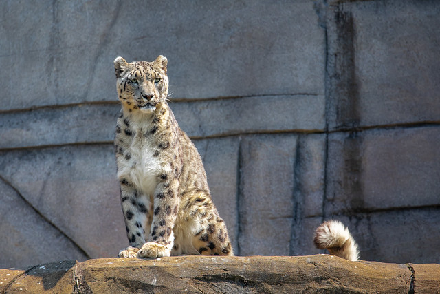 Snow leopard without snow