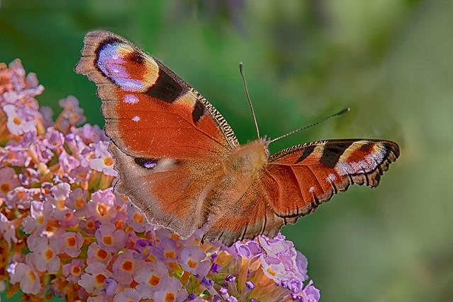 Inachis io (paon du jour - dagpauwoog - peacock - Tagpfauenauge)