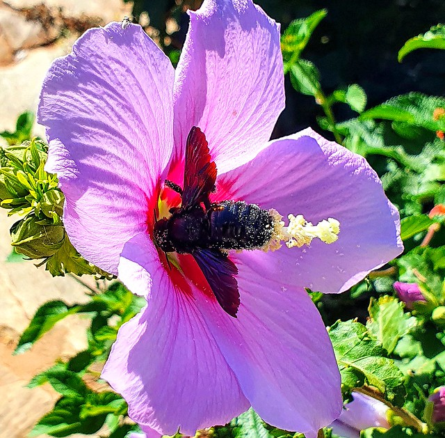 Big pollinator