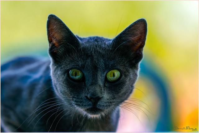 Niza blue cat
