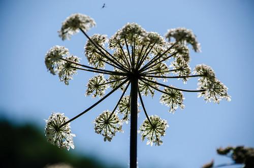 Seen from below: hogweed flower