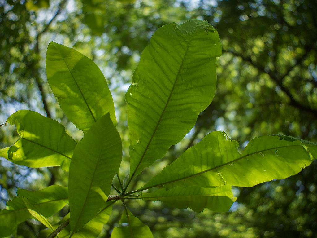 Big-Leaf Magnolia's big leaves