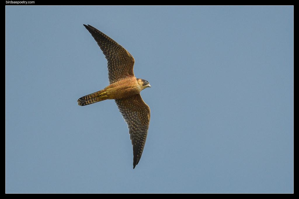 Australian Hobby: Feathered Scimitar