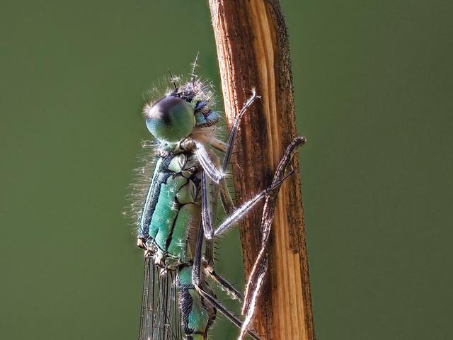Grosse Pechlibelle - Ischnura elegans