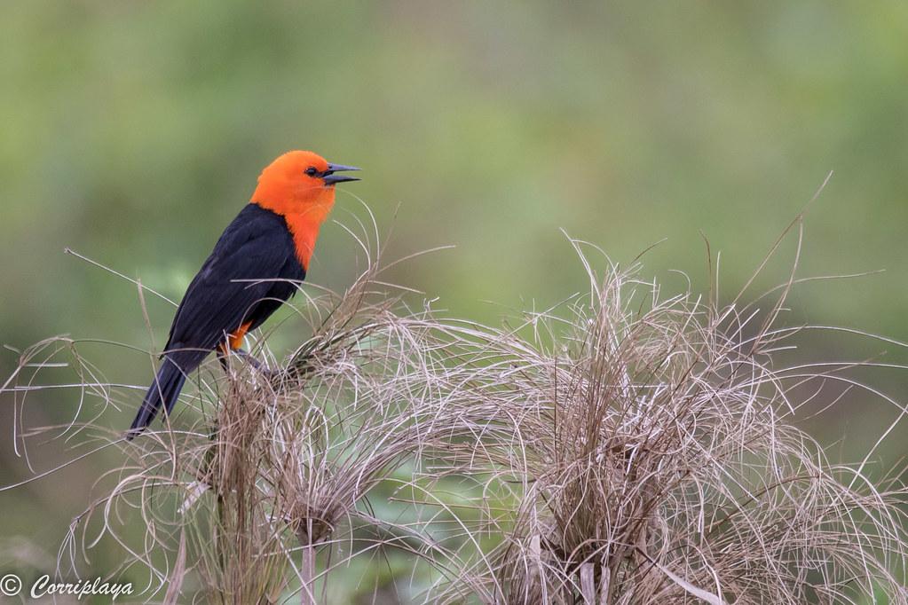 Federal, Amblyramphus holosericeus, Scarlet-headed Blackbird