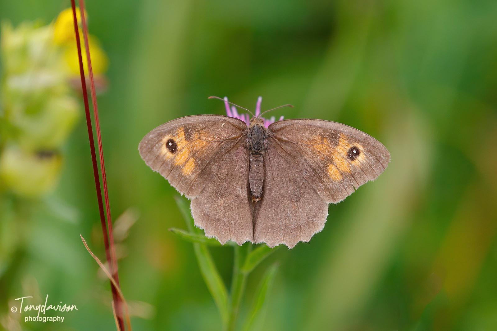 Meadow Brown - female
