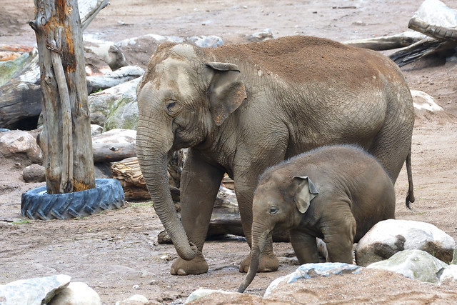 Elephant: The Mother & The Child Bond - 1