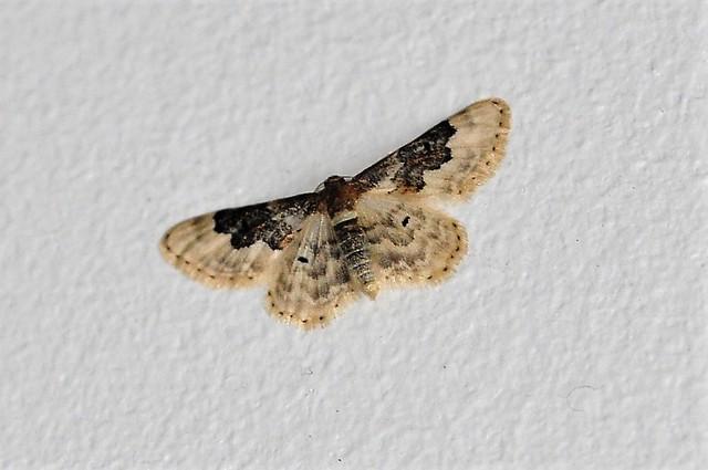 Least Carpet Moth (Idaea Rusticata)