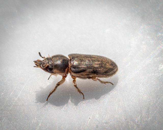 Mud-loving Beetle sp. - Heterocerus fenestratus