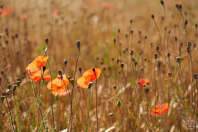 Kornfeld mit Mohnblumen im Morgenlicht