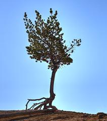 Struggling Pine Tree