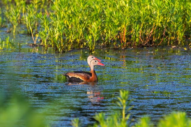 black-bellied whistling ducks on pond