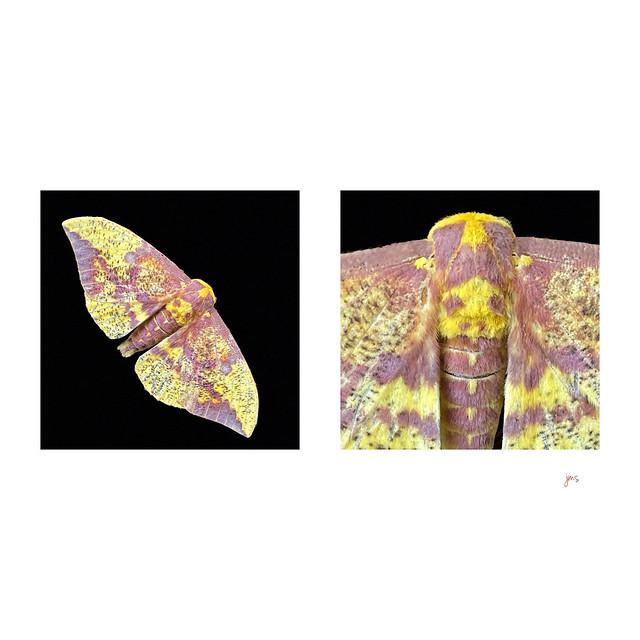 Imperial moth.