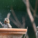 House Finches-0607
