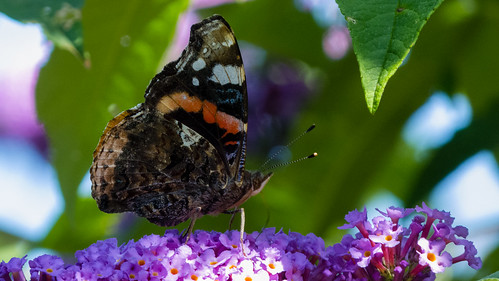 Red admiral butterflly, summer generation