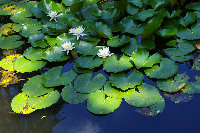 Light and water lilies