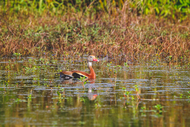 black-bellied whistling duck on pond