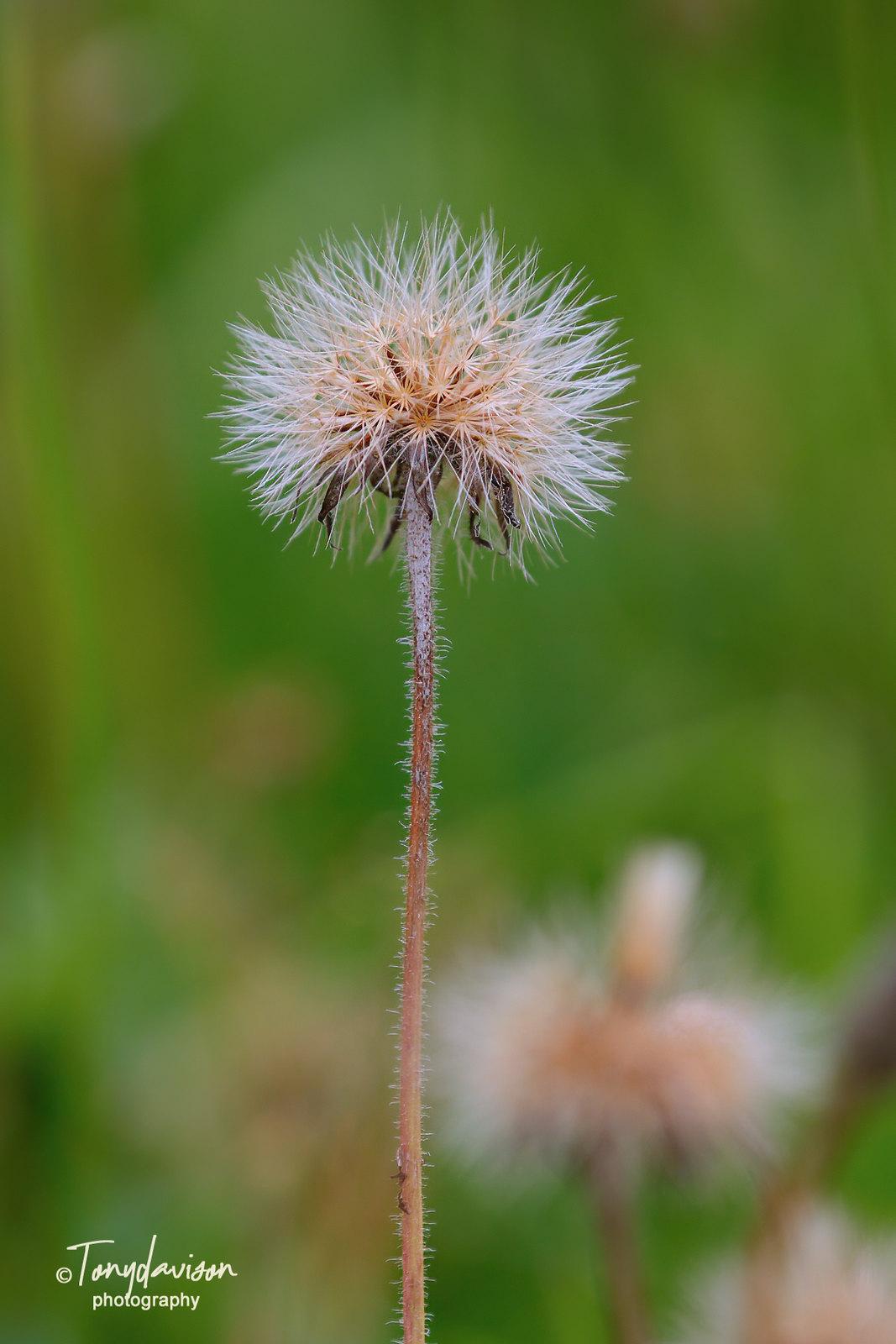 A Hawk-weed seed head
