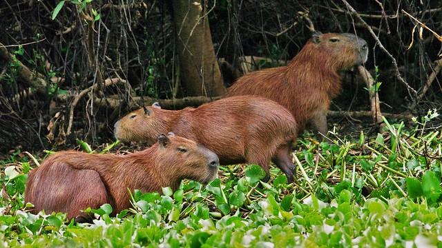 Three Capybara Along The River's Edge