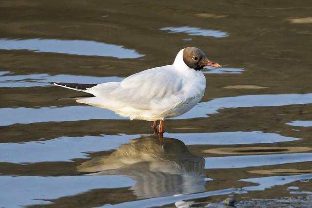 Black Headed Gull Dundalk